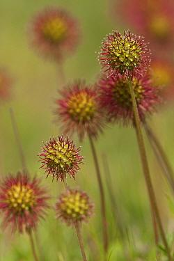 Bronze Pirri-pirri Bur (Acaena anserinifolia) introduced invasive weed species, fruits, Lindisfarne, Northumberland, England, july  -  Paul Hobson/ FLPA