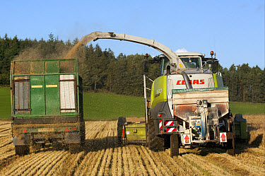 Claas forage harvester unloading into tractor with trailer, making alkalage with wholecrop cereals for animal feed, Cumbria, England, september  -  Wayne Hutchinson/ FLPA