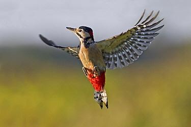 Greater Spotted Woodpecker (Dendrocopus major) adult male, in flight, Warwickshire, England, october  -  Tony Hamblin/ FLPA