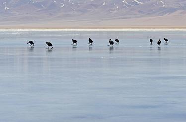 Horned Coot (Fulica cornuta) adults, flock walking on ice of frozen saltlake habitat at m altitude, Laguna Santa Rosa, Parque Nacional Nevado Tres Cruces, Atacama Region, Chile  -  Krystyna Szulecka/ FLPA