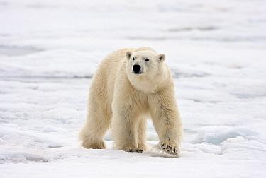Polar Bear (Ursus maritimus) adult, walking on snow covered ice, Murchisonfjorden, Svalbard, june  -  Jules Cox/ FLPA