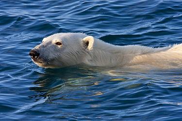 Polar Bear (Ursus maritimus) adult, close-up of head, swimming at sea, Murchisonfjorden, Svalbard, june  -  Jules Cox/ FLPA