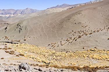 Vicuna (Vicugna vicugna) trails, on mountainside habitat, paja brava growing in valley, near Parque Nacional Nevado Tres Cruces, Atacama Region, Chile  -  Krystyna Szulecka/ FLPA