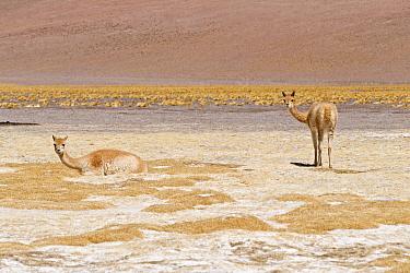 Vicuna (Vicugna vicugna) two adults, resting at edge of saltlake habitat at m altitude, Laguna Santa Rosa, Parque Nacional Nevado Tres Cruces, Atacama Region, Chile  -  Krystyna Szulecka/ FLPA