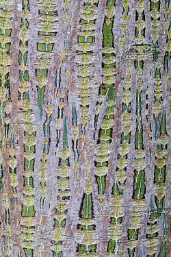 Her's Maple (Acer davidii grosseri) close-up of bark, in garden, Cambridgeshire, England, october  -  Krystyna Szulecka/ FLPA