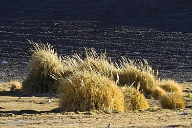 Andean Pampas Grass (Cortaderia atacamensis) growing near watercourse, near Parque Nacional Nevado Tres Cruces, Atacama Desert, Chile  -  Krystyna Szulecka/ FLPA