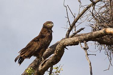 Brown Snake-eagle (Circaetus cinereus) adult, perched on branch beside buffalo-weaver nest, Okavango Delta, Botswana  -  Dickie Duckett/ FLPA