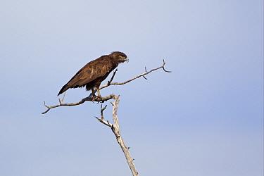 Brown Snake-eagle (Circaetus cinereus) adult, perched on branch, Okavango Delta, Botswana  -  Dickie Duckett/ FLPA