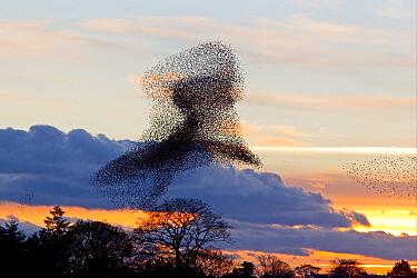 Common Starling (Sturnus vulgaris) flock, in roosting flight at sunset, Gretna Green, Dumfries, Scotland, november  -  Dickie Duckett/ FLPA
