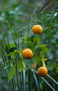 Wild Orange (Citrus aurantium) Close-up of fruit growing -- Highlands Hammock State Park, S.Florida,USA  -  Fritz Polking/ FLPA