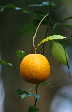 Wild Orange (Citrus aurantium) Close-up of orange hanging, Highlands Hammock State Park, S.Florida,USA  -  Fritz Polking/ FLPA