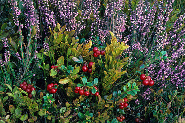 Cowberry (Vaccinium vitis-idaea) In habitat, Cannock Chase  -  Tony Wharton/ FLPA