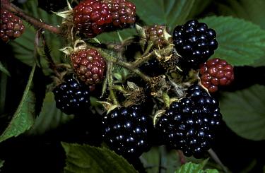 Bramble (Blackberry) (Rubus fruiticosus) Close-up of berries, ripe and unripe FL (S)  -  Tony Wharton/ FLPA