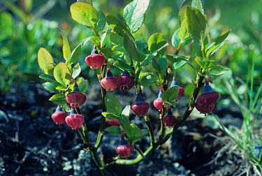 Bilberry (Vaccinium myrtillus) Close-up of plant with flowers  -  Ian Rose/ FLPA