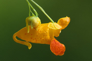 Spotted Touch-Me-Not (Impatiens capensis) Close-up, Michigan, August  -  Larry West/ FLPA