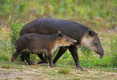 Baird's Tapir (Tapirus bairdii) adult female with young, walking, captive  -  Gerard Lacz/ FLPA