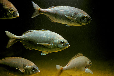 Red Sea Bream (Pagellus bogaraveo) shoal, swimming, England  -  D.P. Wilson/ FLPA