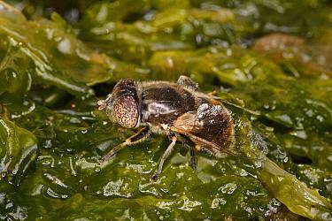 Shore Hoverfly (Eristalinus aeneus) adult, laying eggs on seaweed in brackish pool, Broad Bench, Kimmeridge, Dorset, England, july  -  Steve Trewhella/ FLPA