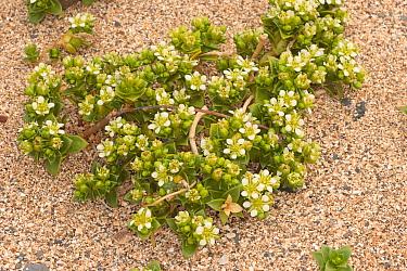 Sea Sandwort (Honckenya peploides) flowering, growing on sandy shore, Broad Bench, Kimmeridge, Isle of Purbeck, Dorset, England, may  -  Steve Trewhella/ FLPA