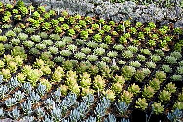 Rows of potted succulent plants in nursery, Norfolk, England, july  -  David Burton/ FLPA