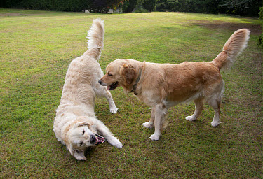 Domestic Dog, Golden Retriever, two adult females, dominance interaction, playing on garden lawn, England, august  -  Angela Hampton/ FLPA