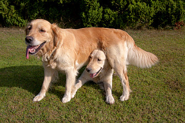 Domestic Dog, Golden Retriever, two adult females, dominance interaction, one standing over other on garden lawn, England, august  -  Angela Hampton/ FLPA