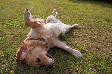 Domestic Dog, Golden Retriever, adult female, in heat, laying on back in submissive gesture, on garden lawn, England, august  -  Angela Hampton/ FLPA