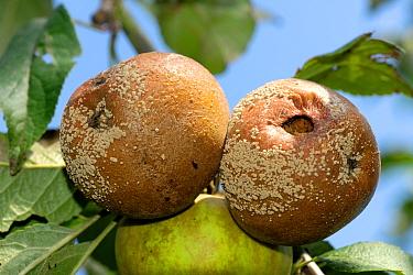 Brown rot (Monilinia fructigena) ftruit rot on mature bramley apples  -  Nigel Cattlin/ FLPA
