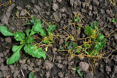 Dodder or strangleweed (Cuscuta epithymum) parasitic weed on seedling sugar beet, Greece  -  Nigel Cattlin/ FLPA