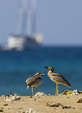 Beach Stone-curlew (Esacus giganteus) two adults, standing on beach, with ship in background, Komodo Island, Indonesia  -  Ignacio Yufera/ FLPA