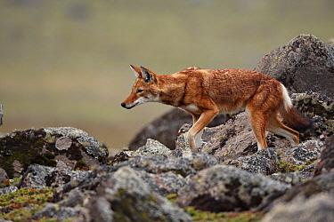 Ethiopian Wolf (Canis simensis) adult, walking amongst rocks on afro-alpine moorland, Bale Mountains, Oromia, Ethiopia  -  Ignacio Yufera/ FLPA