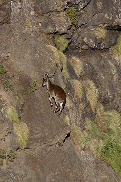 Walia Ibex (Capra walie) adult female, climbing vertical rockface, Simien Mountains, Ethiopia  -  Ignacio Yufera/ FLPA
