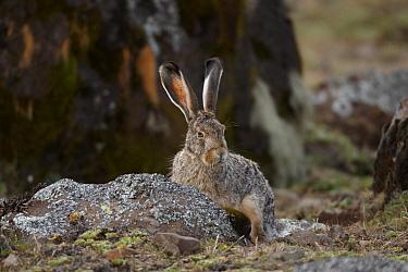 Starck's Hare (Lepus starcki) adult, sitting in afro-alpine moorland, Bale Mountains, Oromia, Ethiopia  -  Ignacio Yufera/ FLPA