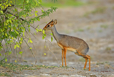 Salt's Dik-dik (Madoqua saltiana) adult male, feeding, browsing on leaves, Awash Region, Ethiopia  -  Ignacio Yufera/ FLPA