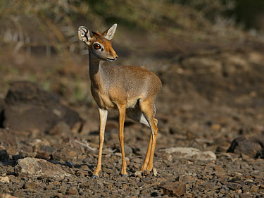 Salt's Dik-dik (Madoqua saltiana) adult female, standing on stony ground, Awash Region, Ethiopia  -  Ignacio Yufera/ FLPA