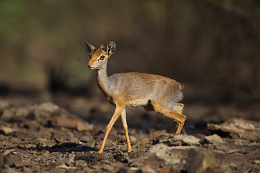 Salt's Dik-dik (Madoqua saltiana) adult female, walking on stony ground, Awash Region, Ethiopia  -  Ignacio Yufera/ FLPA