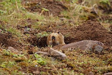 Giant Mole-rat (Tachyoryctes macrocephalus) adult, looking out from burrow entrance, Bale Mountains, Oromia, Ethiopia  -  Ignacio Yufera/ FLPA