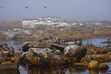 Cape Cormorant (Phalacrocorax capensis) colony, standing on rocks in sea mist, Cape of Good Hope, Cape Peninsula, South Africa  -  John Eveson/ FLPA