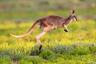 Red Kangaroo (Macropus rufus) adult, jumping over low vegetation, Sturt National Park, New South Wales, Australia  -  Jurgen and Christine Sohns/ FLPA