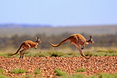 Red Kangaroo (Macropus rufus) adult female with young, jumping over stony ground, Sturt National Park, New South Wales, Australia  -  Jurgen and Christine Sohns/ FLPA