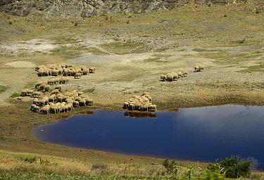 Domestic Sheep, flock, grazing at edge of drying waterhole, Swellendam, Western Cape, South Africa  -  John Eveson/ FLPA