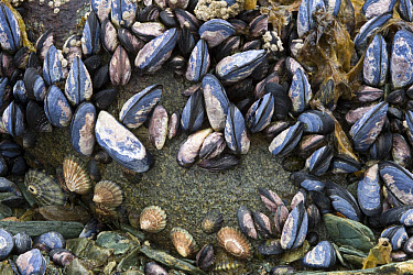 Common Mussel (Mytilus edulis) adults, group on rocky shore, Logo Roca, Tierra del Fuego National Park, Southern Patagonia, Tierra del Fuego, Argentina  -  Krystyna Szulecka/ FLPA