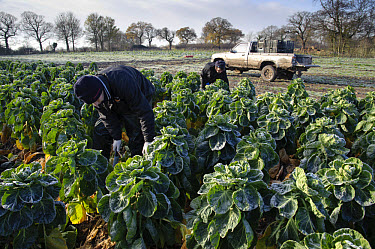 Brussels Sprout (Brassica oleracea) crop, field being harvested in frosty conditions, Arley, Cheshire, England, november  -  John Eveson/ FLPA