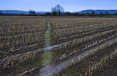 Maize (Zea mays) crop, harvested field with footpath, Slimbridge, Gloucestershire, England, january  -  John Eveson/ FLPA