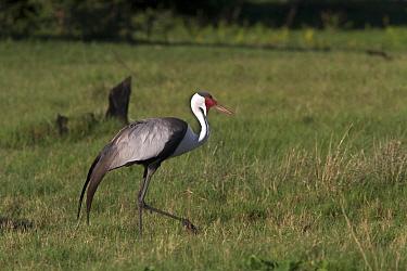 Wattled Crane near Kwara Bostwana. An endangered species  -  David Hosking/ FLPA