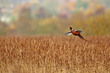 Common Pheasant (Phasianus colchicus) adult male, in flight over reedbed, Strumpshaw Fen RSPB Reserve, River Yare, The Broads, Norfolk, England, november  -  Robin Chittenden/ FLPA