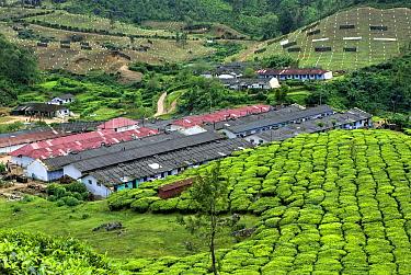 Tea (Camellia sinensis) crop, view of tea plantation workers housing on hillside, Munnar, Western Ghats, Kerala, India  -  Parameswaran Pillai Karunakaran/