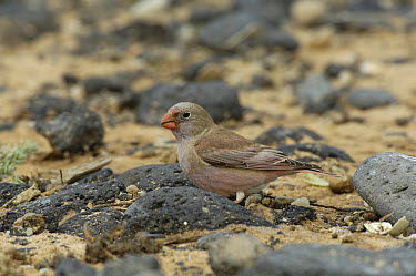 Trumpeter Finch (Rhodopechys githaginea amantum) adult male, foraging on beach, Fuerteventura, Canary Islands, march  -  Richard Brooks/ FLPA