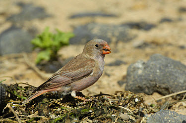 Trumpeter Finch (Rhodopechys githaginea amantum) adult male, feeding on beach, Fuerteventura, Canary Islands, march  -  Richard Brooks/ FLPA