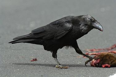 Canary Islands Raven (Corvus corax tingitanus) adult, feeding on roadkill, Fuerteventura, Canary Islands, march  -  Richard Brooks/ FLPA